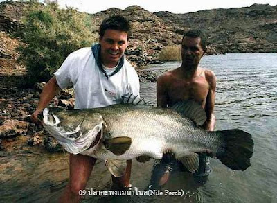 ปลา กะพงแม่น้ำไนล์ หรือ Nile Perch