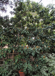 The Choice Of Landscape Its Winter In Central Texas And Loquat