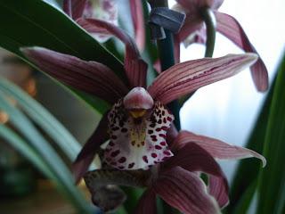 21 L alba young plants Orchid Paphiopedilum philippinense var rare