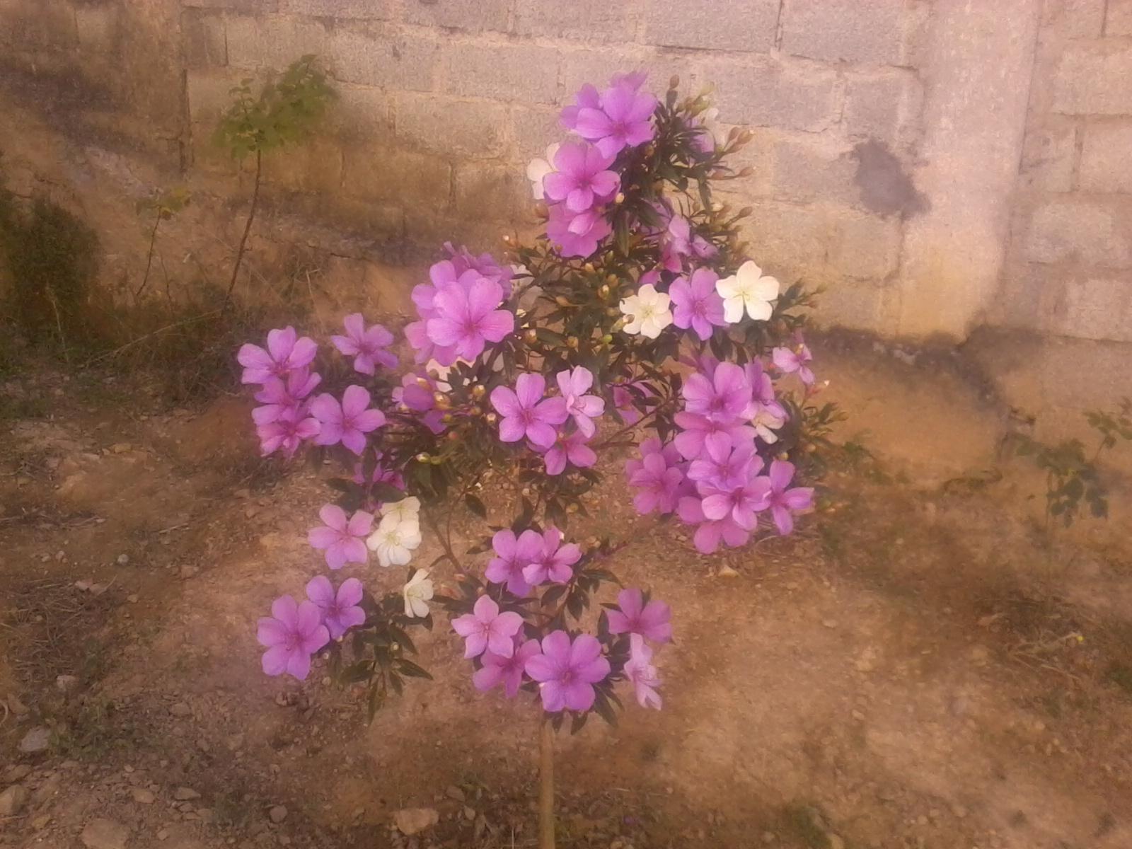 arvore manaca jardim:Jardim da Drika: Flores que encantam