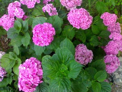 Como cultivar hortensias - Cuidado de las hortensias ...