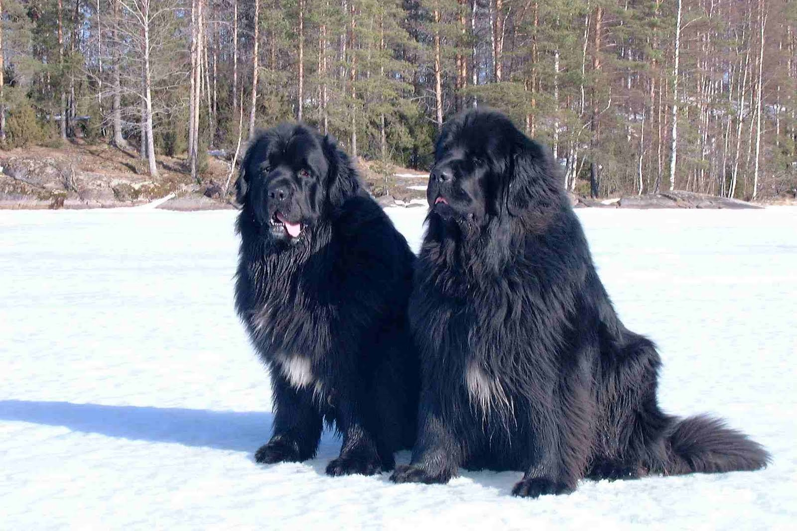 Two huge Newfoundland dogs sitting on the snow, longhaired massive dogs
