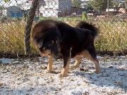 Tibetan Mastiff Dog Club Directory