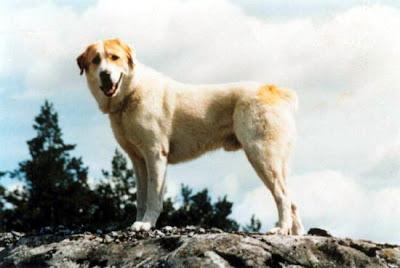 Central Asian Shepherd