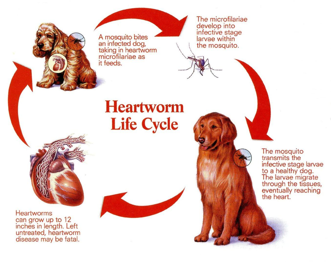canine heartworm disease The source of this dreaded canine disease are mosquitos with the  heartworm medicine for dogs there is little doubt that dog heartworm medicine can save your.