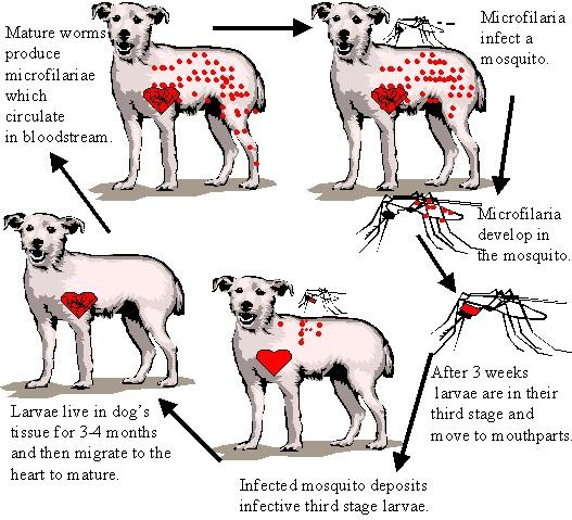 Dog Heartworm Pictures Of Dogs And All About Dog