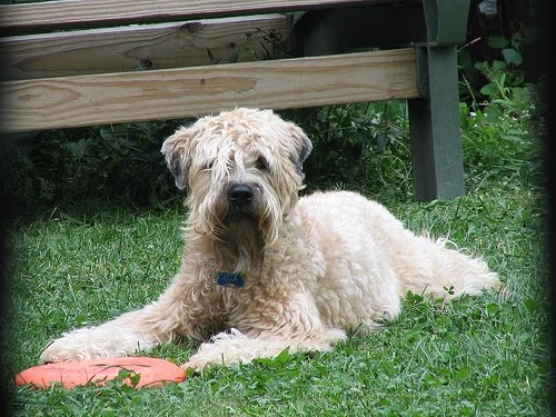 Soft Coated Wheaten Terrier Pictures Of Dogs And All About Dog