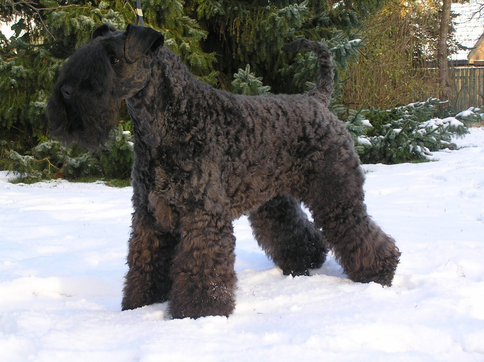 Kerry Blue Terrier:Pictures of Dogs and All About Dog