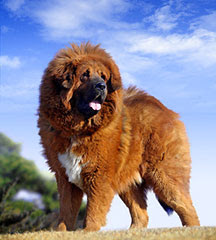 Dog Directory: Tibetan Mastiff Dog Breed Temperament, Health ...