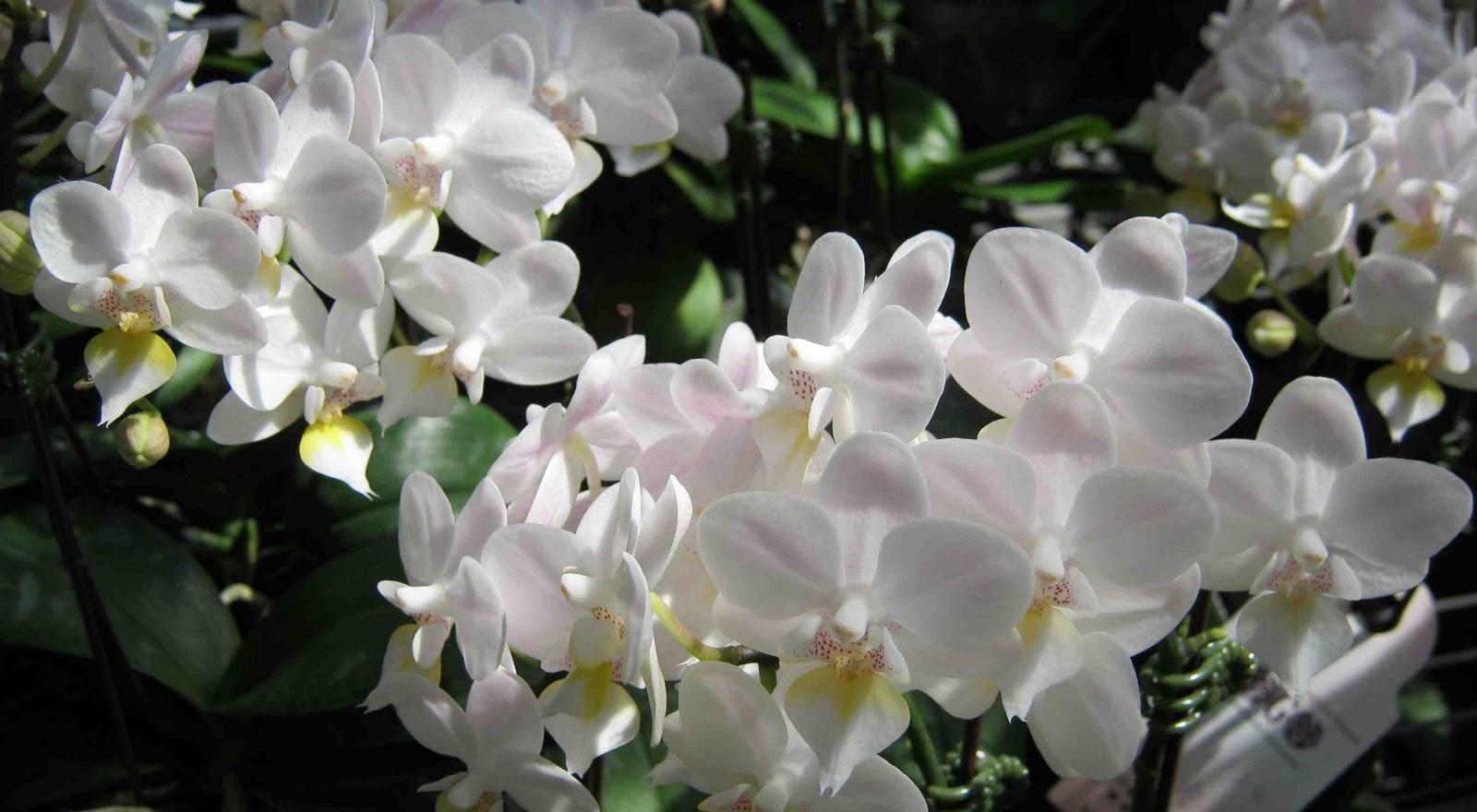 Philippine Gardener Taiwans Gems Phalaenopsis Orchids Part 1