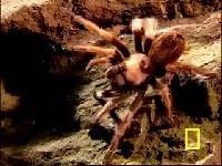 世界上最大隻的蜘蛛