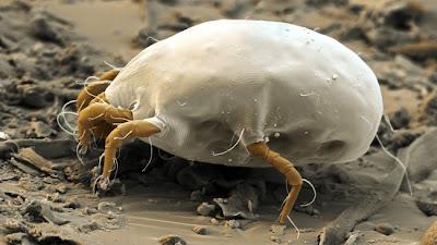 Piccoli animali sotto la lente d 39 ingrandimento immagini for Acari polvere