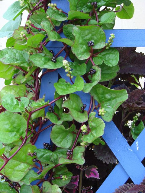 recommend a flowering vine