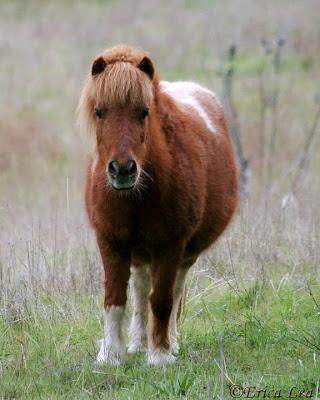 mini horse, miniature, pinto, erica lea, nature visions