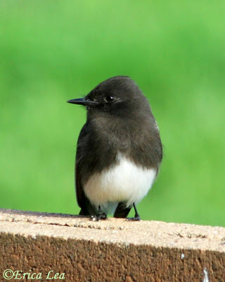 black phoebe, bird, central california, erica lea, nature visions