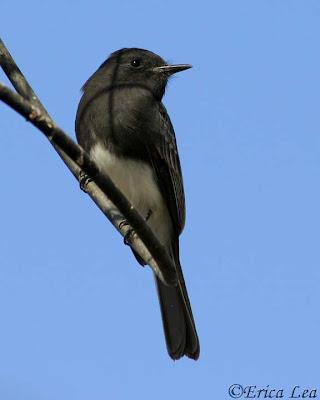 black phoebe, bird, antenna