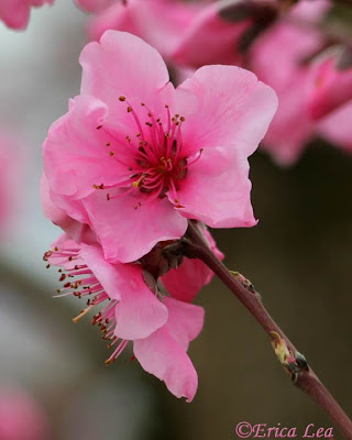 pink flower, blossoms, blooms, fruit tree