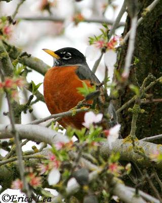 American Robin, bird, flowers, fruit tree