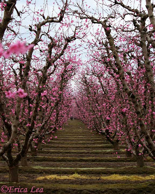 orchard, peach trees, pink flowers