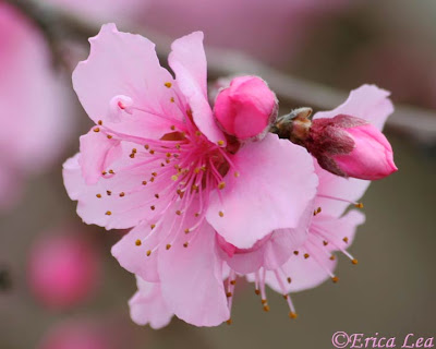pink blooms, petals, flowers