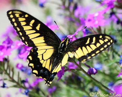 anise swallowtail injured wings