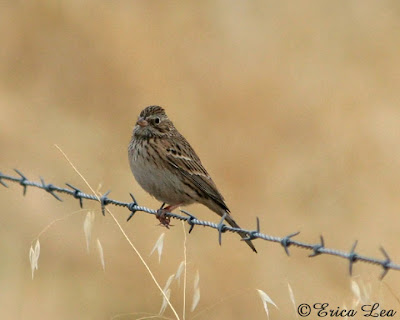 sparrow, barbed wire