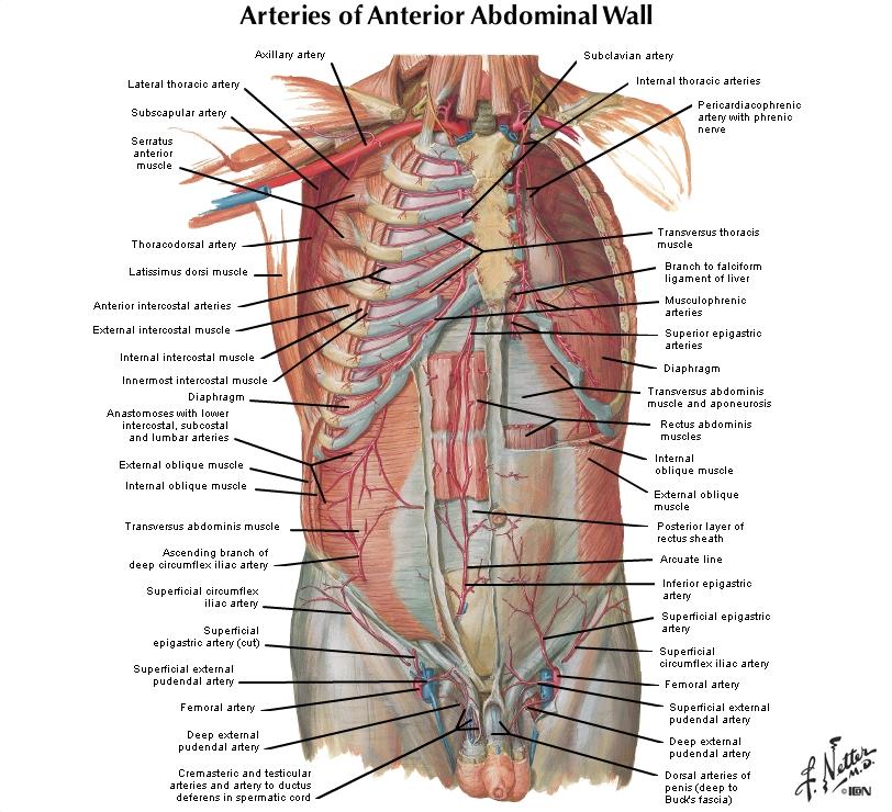 Vistoso Netter Anatomía En Línea Festooning - Anatomía de Las ...