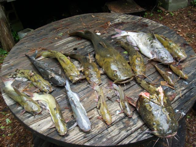 Telephoning catfish [Archive] - Georgia Outdoor News Forum