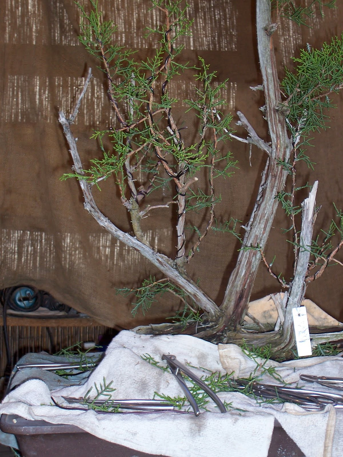 Bonsaibp39s Bonsai Blog California Juniper Raft Style