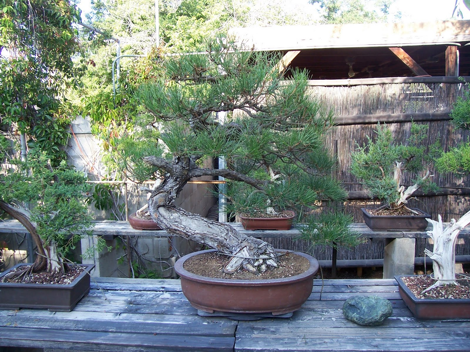 bonsaibp's bonsai blog: A walk through the nursery