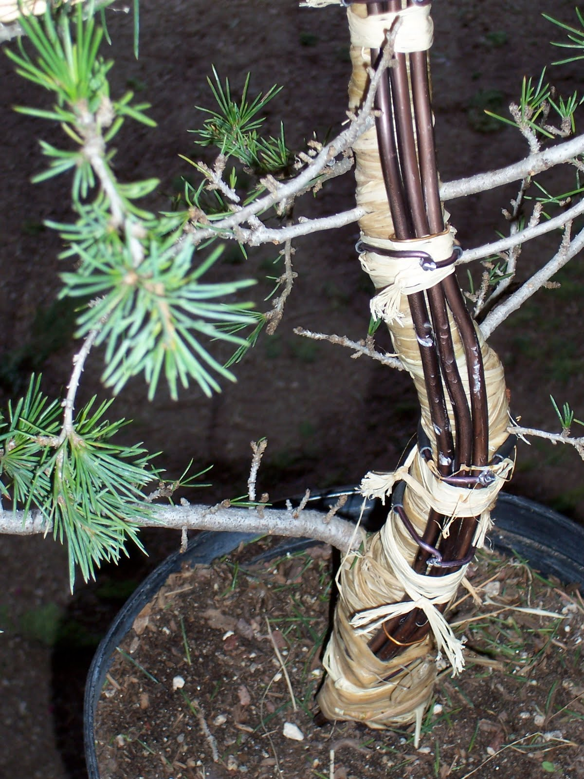 Bonsaibp39s Bonsai Blog 08 01 2010 09 01 2010