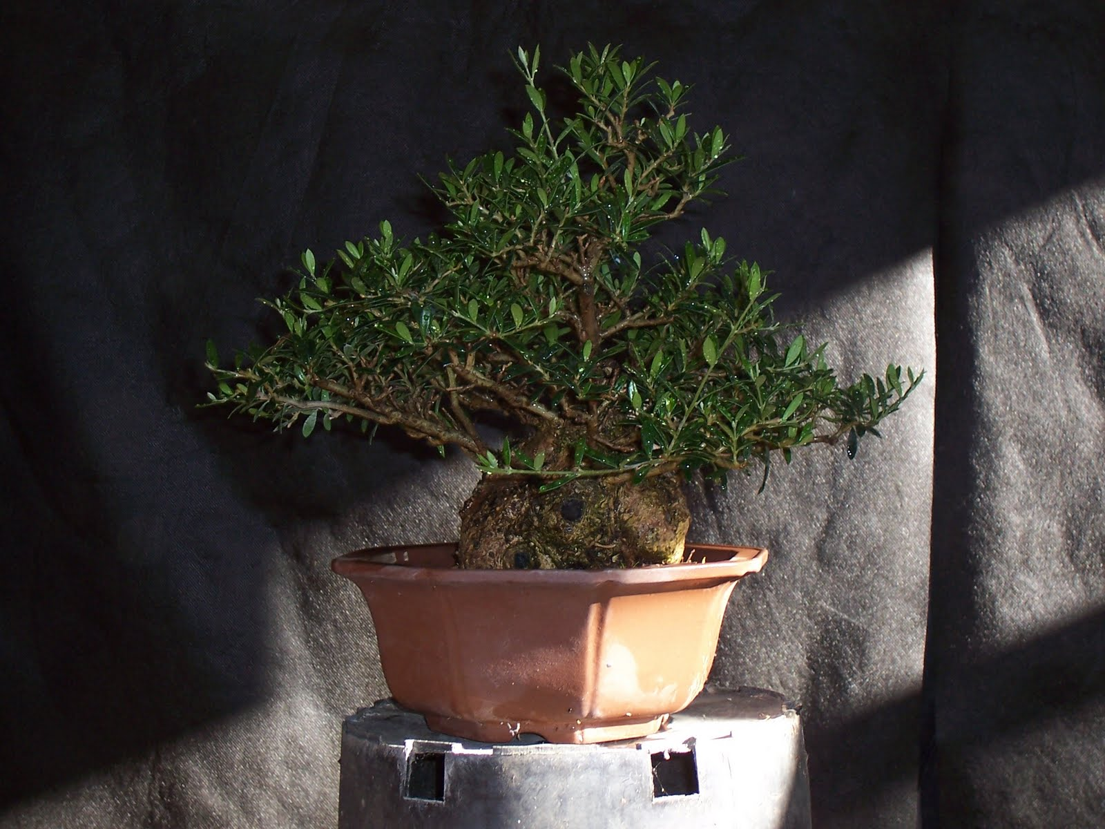 Bonsaibp39s Bonsai Blog Small Leaf Olives