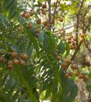 soapnut tree