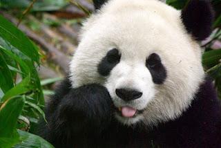 http://1.bp.blogspot.com/_YRS4rwpskdg/TNab5GtMN1I/AAAAAAAAAFE/nkKMnafIQIA/s320/panda-1.jpg