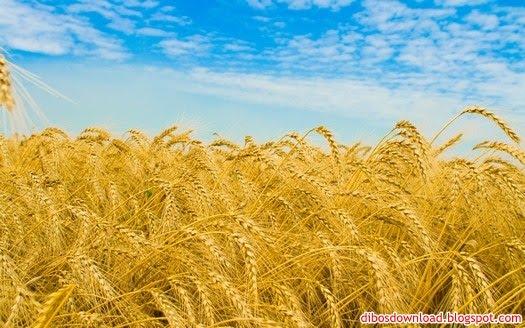 yellow summer corn stalks