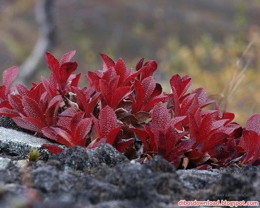 red leaved plants