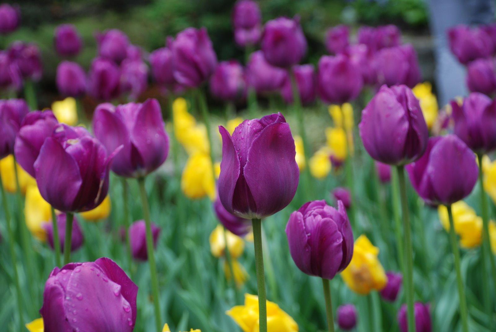 Andrea's weblog: Tulipani