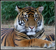 Save the Tiger !