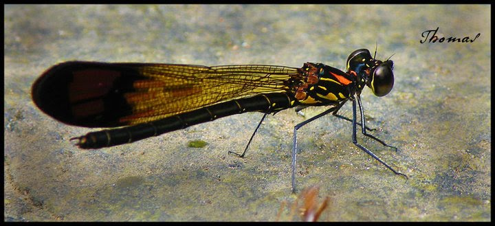 Stream Ruby damselfly