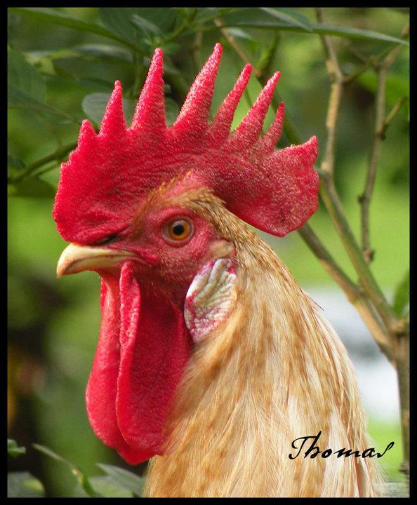 Cock macroshot