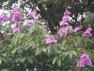 POKOK BONGOR