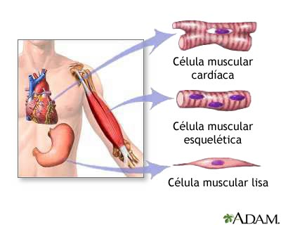 enfermeria: tejido muscular liso