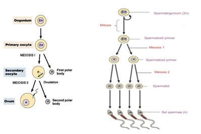 Seputar kandungan quiz 2 temukan pula dua buah perbedaan di tinjau dari proses setelah spermatid atau ootid hasil akhir dari spermatogenesis atau oogenesis ccuart Image collections