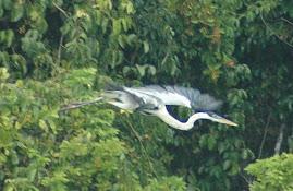 Maguari voando na floresta