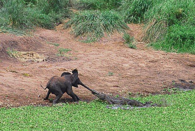 Crocodile Eating Elephant Crocodile Want to Eat Elephant