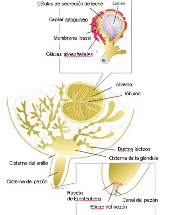 anatomia de rubi: estrutura
