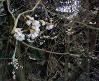 Zweig mit Kirschblüten Ende Dezember 2006