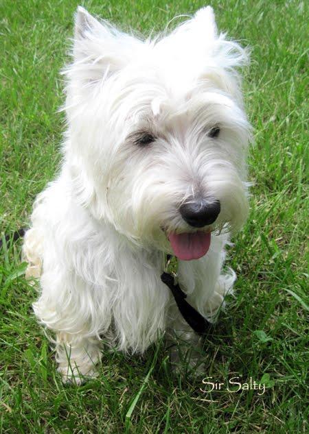 Westie art garden my westie dog boy - Pictures of westie dogs ...
