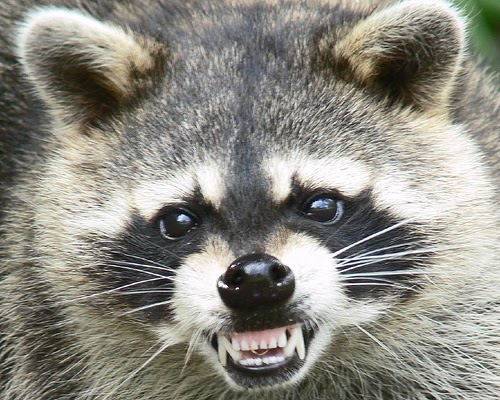 animal control made easy  rabies from raccoons  skunks