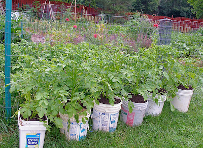 potato buckets experimental yields - 5 Gallon Bucket Garden